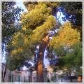 La fin du pin des Buissonnets