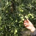 Une expérience inattendue et enrichissante : la cueillette des olives